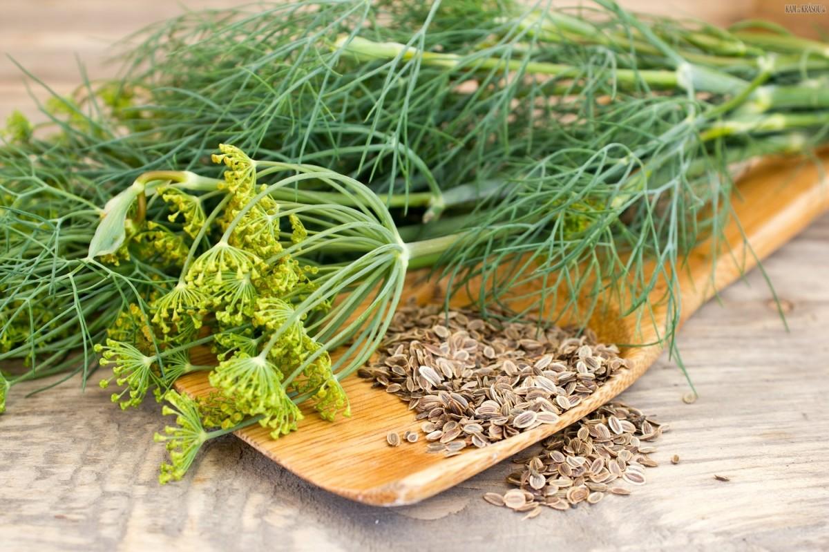 укроп семена полезные свойства как заваривать